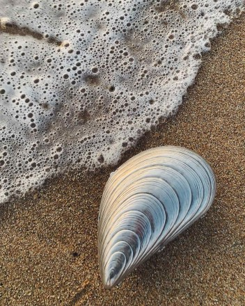 Mussel Shell Purse